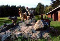 """Ein Ausflug zu den Alpakas; ein besonderes Erlebnis - Bild 9: Ferienwohnung"""" Am Hemberg""""( Region Diemelsee)"""