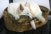 """Unser weißer Schäferhund nach der """"großen Hausrunde"""" ;-) ... - Bild 6: Idyll. Ferienhaus EifelNest Fernsicht & uneinsehbare Sonnenterrasse & WLAN"""